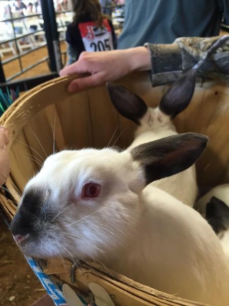 rabbits 4-h